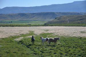 HorsesLooking