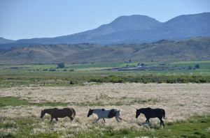 HorsesWalkng