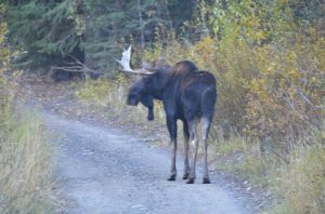 RoadMoose