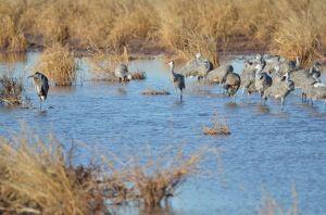 HeronCranes