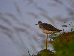 A greater yellowlegs in a nearby lake in the moose range.
