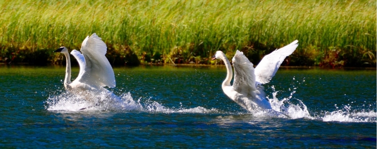 Trumpeter swans on the run.