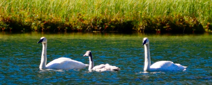 Trumpeter swans in a lake.
