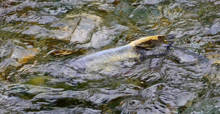 Doomed salmon.